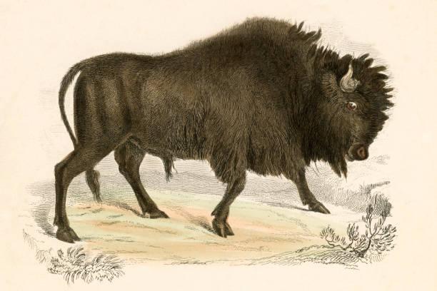 Antique book illustration: American Bison vector art illustration