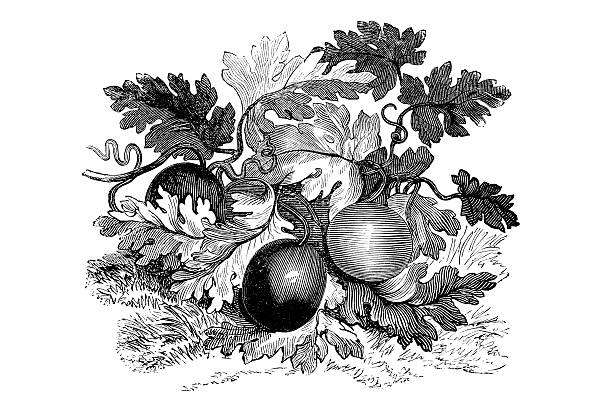 Antique book illustration: bitter apple (colocynth) vector art illustration