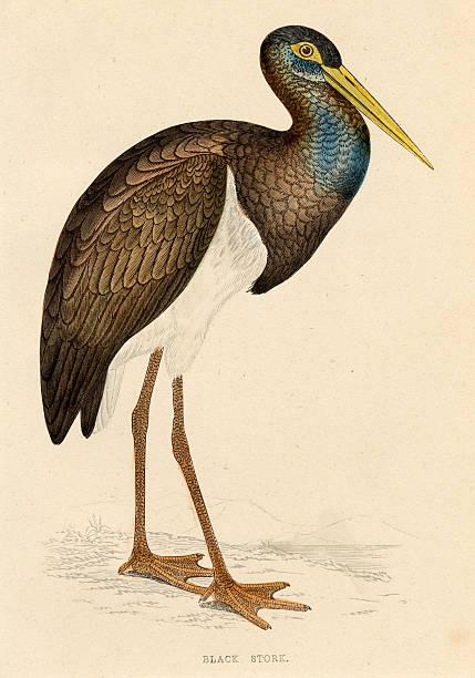 Antique book illustration: Black Stork vector art illustration
