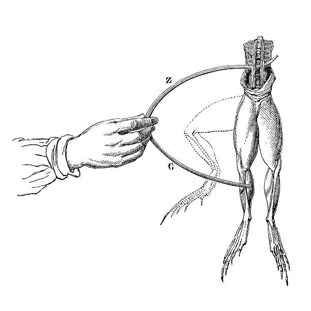Antique book illustration: Galvani's experiment vector art illustration