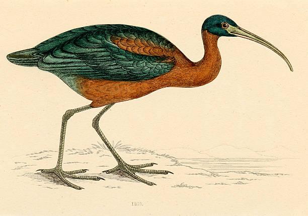 Antique book illustration: Ibis (1870) vector art illustration