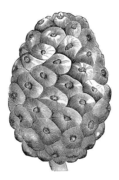Antique book illustration: pine cone from Palestine vector art illustration