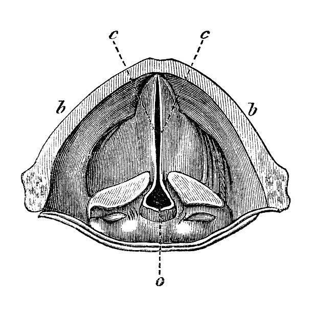 Antique book illustration: the larynx vector art illustration