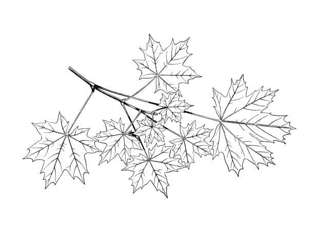 Antique botany illustration: Acer platanoides, Norway maple vector art illustration