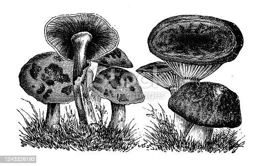 Antique botany illustration: Agaricus mushrooms