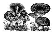 istock Antique botany illustration: Agaricus mushrooms 1243326193