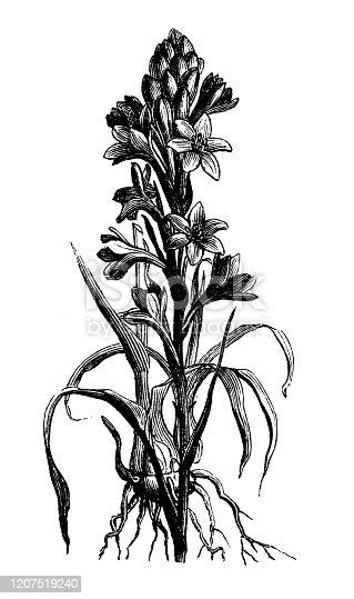 Antique botany illustration: Agave amica, Polianthes tuberosa, tuberose