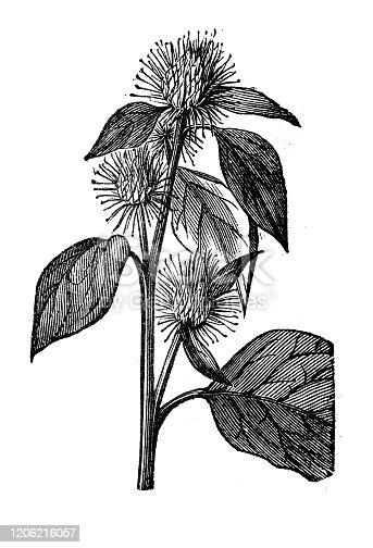 Antique botany illustration: Arctium lappa, greater burdock