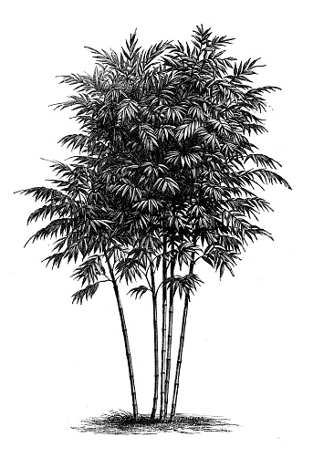 Antique botany illustration: Bamboo