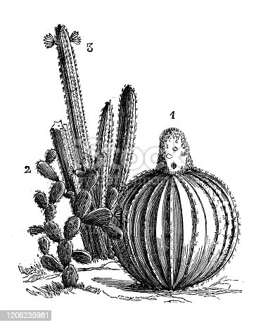 Antique botany illustration: Cactus