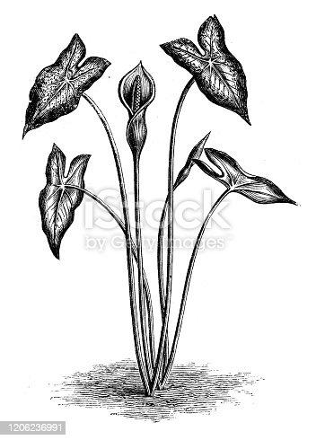 Antique botany illustration: Caladium bicolor (elephant ear)