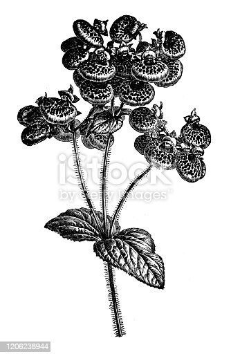 istock Antique botany illustration: Calceolaria hybrid, lady's purse, slipper flower, pocketbook flower 1206238944