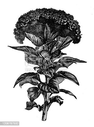Antique botany illustration: Celosia argentea var. cristata (formerly Celosia cristata), cockscomb