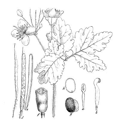 Antique botany illustration: Chelidonium majus, greater celandine
