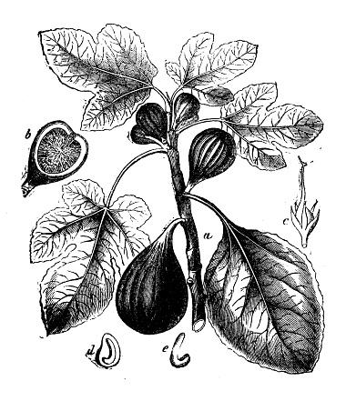 Antique botany illustration: Ficus carica, Fig tree