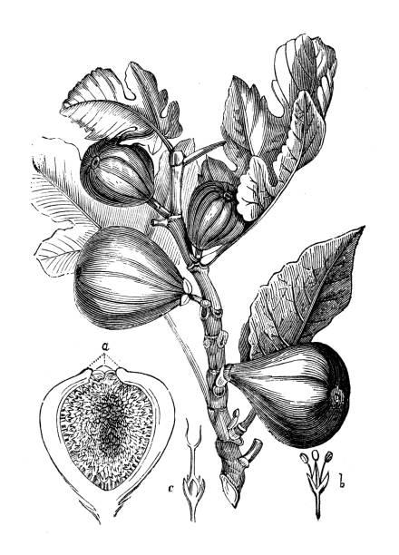 Antique botany illustration: Fig tree vector art illustration