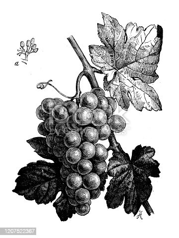 Antique botany illustration: Grape