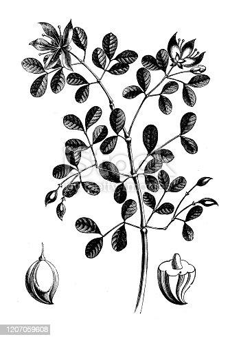Antique botany illustration: Guaiacum