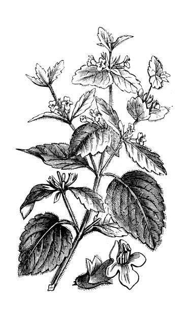 Antique botany illustration: Lemon balm (Melissa officinalis) vector art illustration