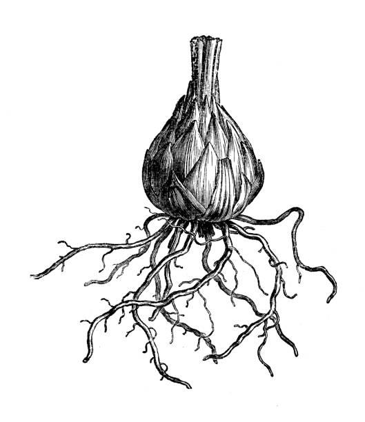 Antique botany illustration: Lily bulb vector art illustration