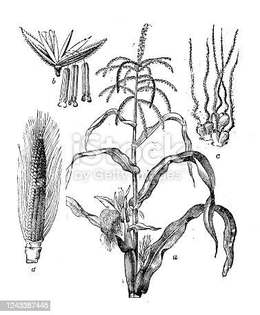 Antique botany illustration: Maize