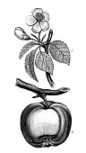 istock Antique botany illustration: Malus sylvestris, European crab apple 1330905956