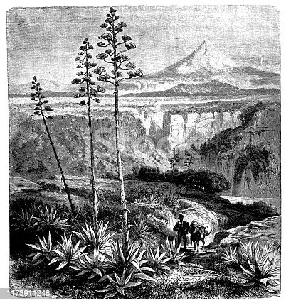 Antique botany illustration: Mexican Agave