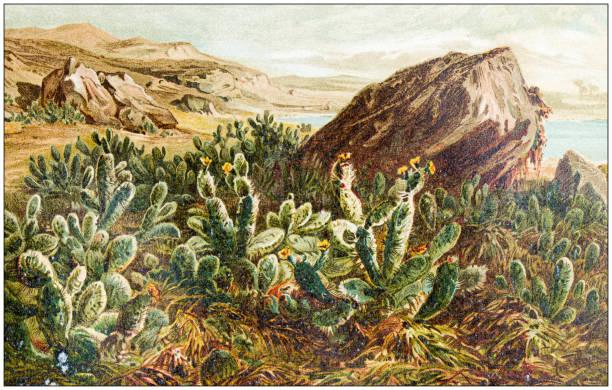 Antique botany illustration: Opuntia, prickly pear vector art illustration