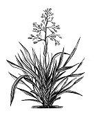 istock Antique botany illustration: Phormium tenax, New Zealand flax 1207311742