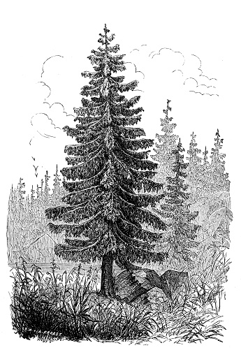 Antique botany illustration: Picea abies, Norway spruce