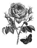 istock Antique botany illustration: Rose 1207471515