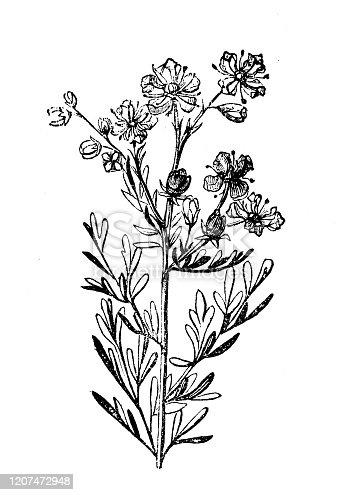Antique botany illustration: Ruta graveolens, rue