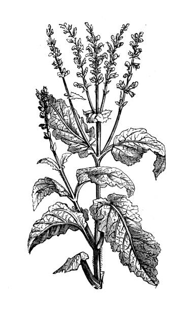 Antique botany illustration: Salvia pratensis (meadow clary, meadow sage) vector art illustration