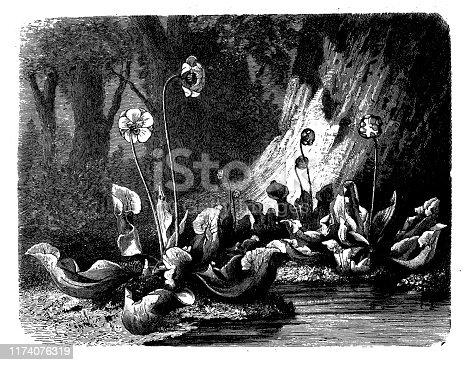 Antique botany illustration: Sarracenia purpurea, purple pitcher plant