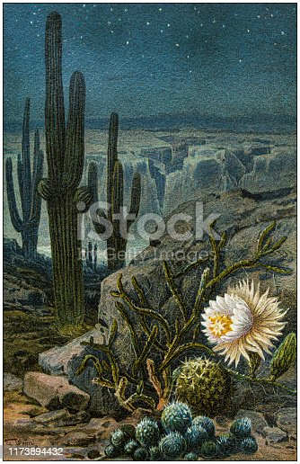 Antique botany illustration: Selenicereus grandiflorus, queen of the night, night-blooming cereus , large-flowered cactus
