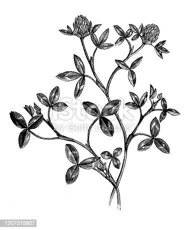 Antique botany illustration: Trifolium pratense, red clover