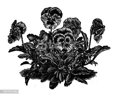 Antique botany illustration: Viola tricolor