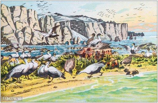 istock Antique color illustration from German children fable book: Eider birds, Somateria mollissima 1134278783