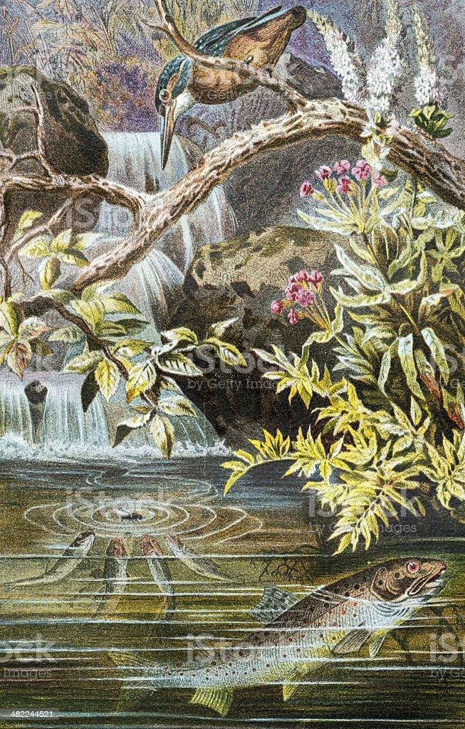 Antique color illustration of brown trout (Salmo trutta) vector art illustration