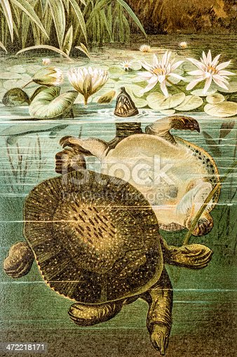 Antique color illustration of Florida softshell turtle (Apalone ferox)