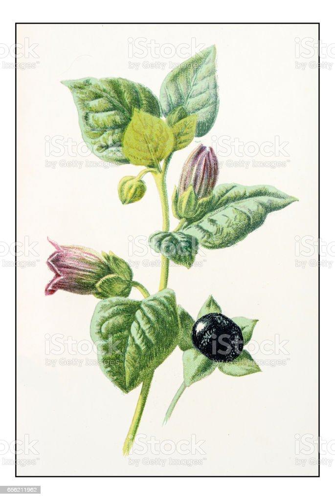 Antique Color Plant Flower Illustration Atropa Belladonna Stock