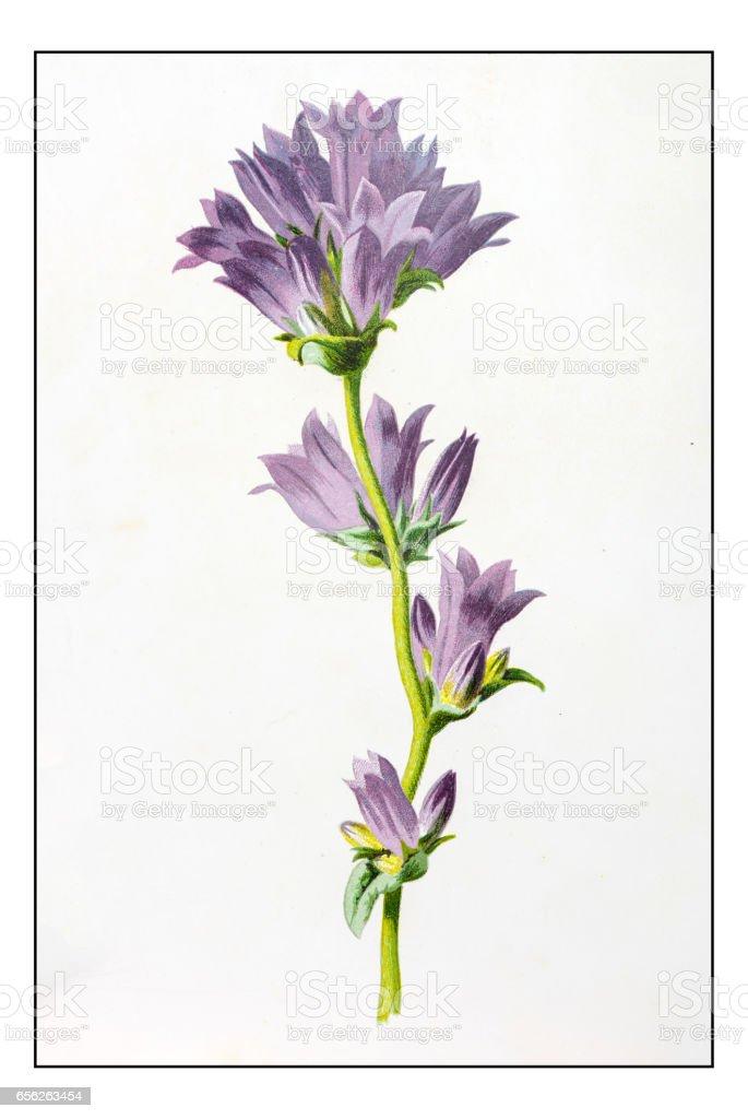Antique color plant flower illustration: Campanula glomerata (Clustered Bellflower) vector art illustration