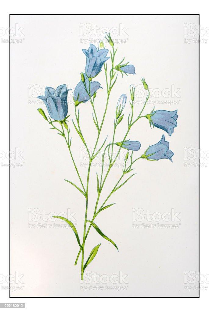 Antique color plant flower illustration: Campanula rotundifolia (harebell) vector art illustration