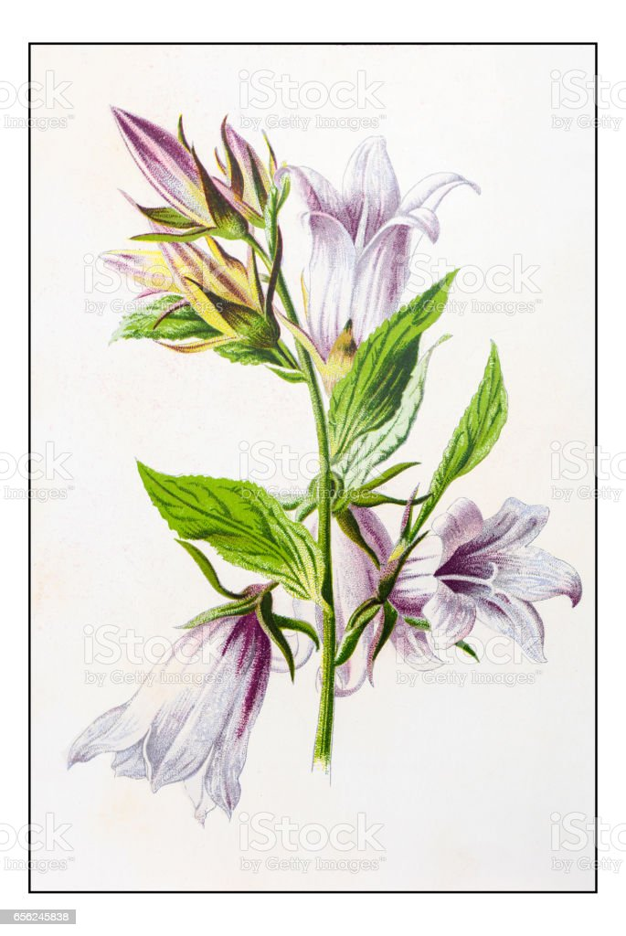 Antique color plant flower illustration: Campanula trachelium (nettle-leaved bellflower) vector art illustration