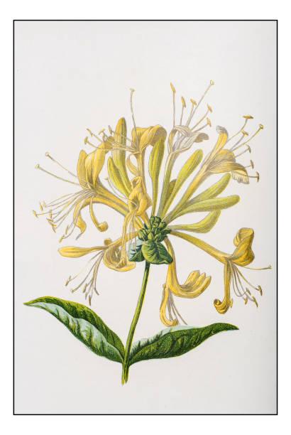 Antique color plant flower illustration: Honeysuckle Antique color plant flower illustration: Honeysuckle honeysuckle stock illustrations