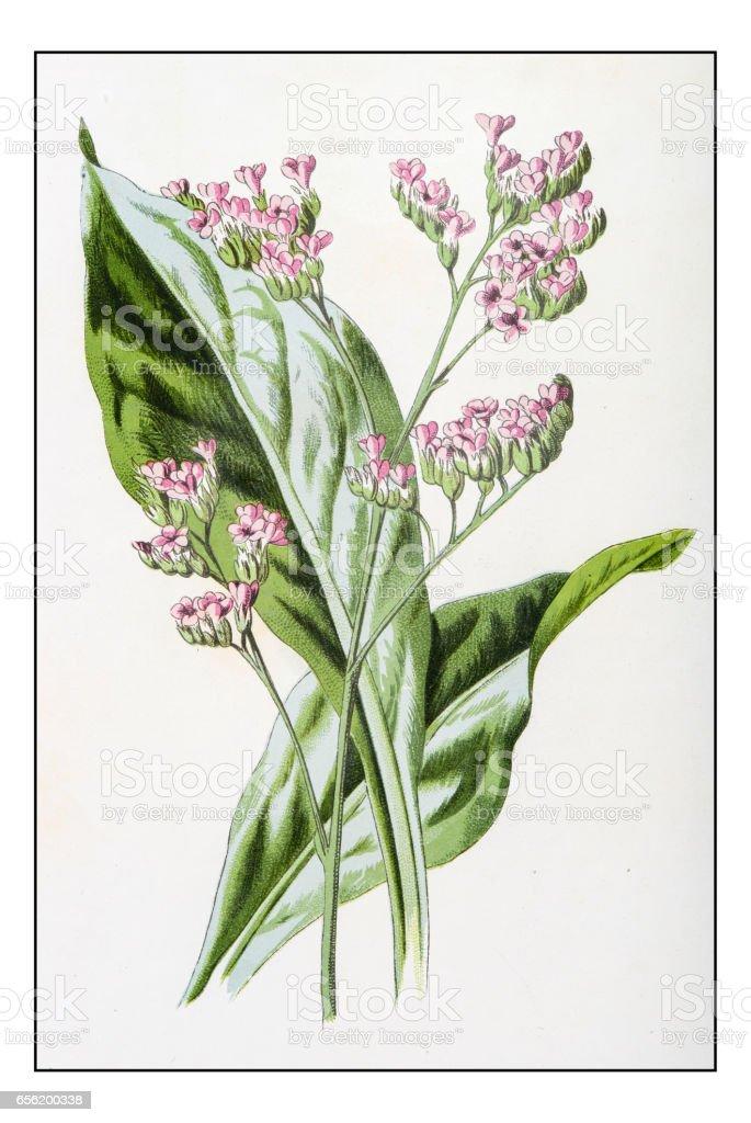 アンティーク色の植物花イラスト スターチス 19世紀のベクターアート