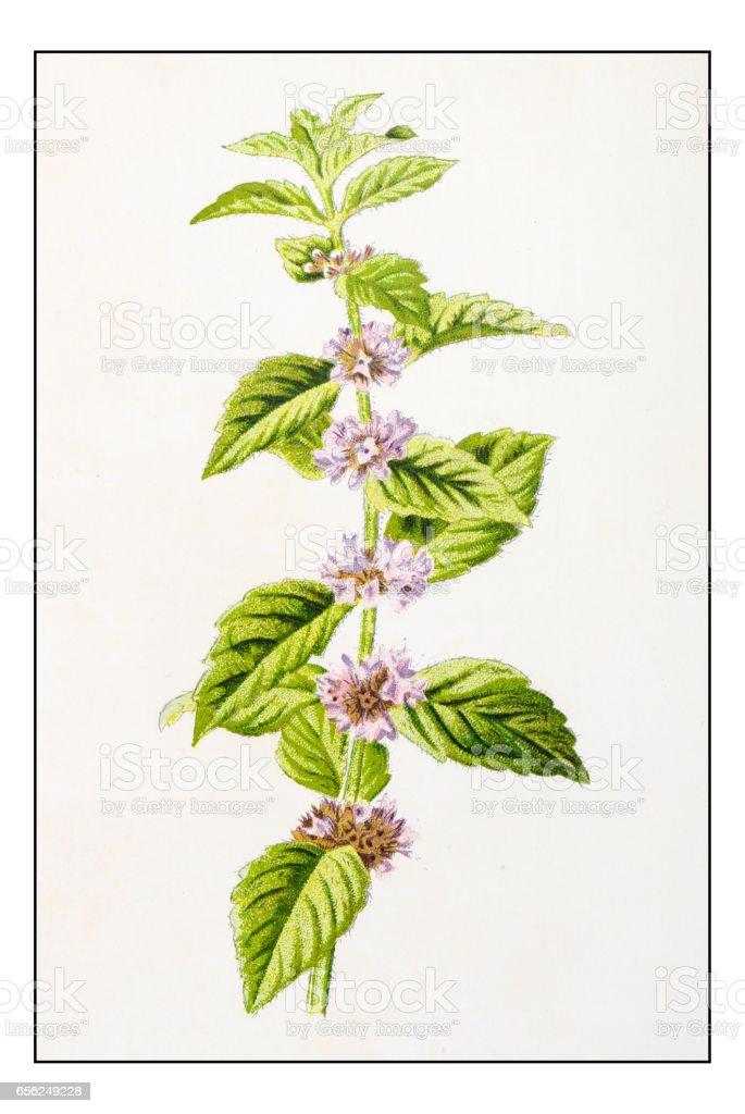 Antique color plant flower illustration: Mentha arvensis (field mint) vector art illustration