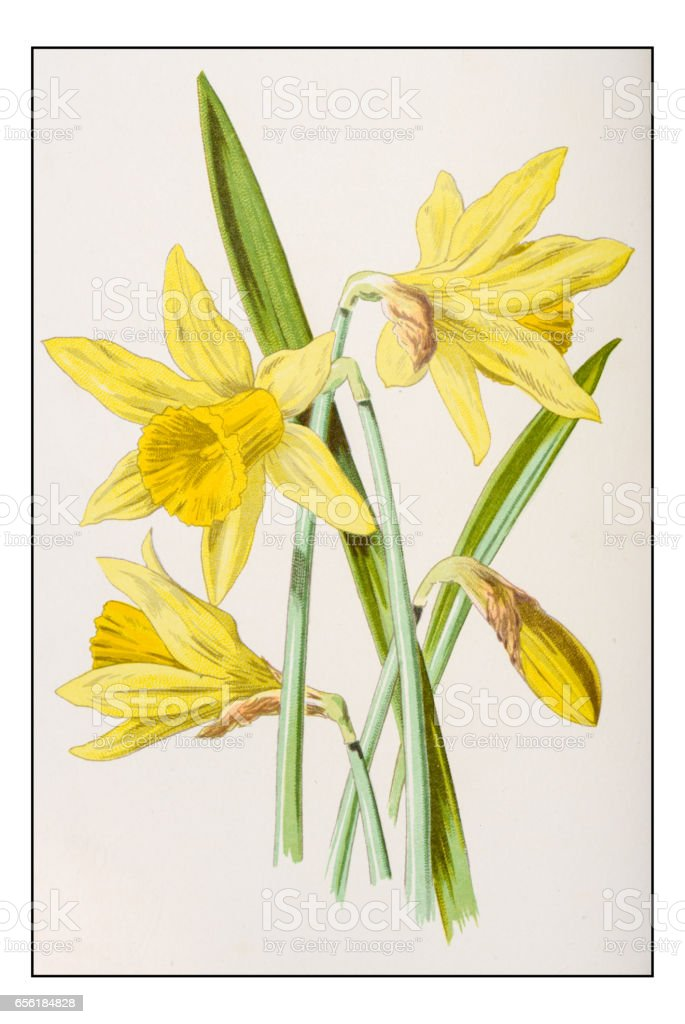 Antique color plant flower illustration: Narcissus (Daffodil) vector art illustration