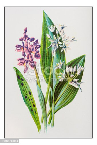 Antique color plant flower illustration: Orchis and Broad-leaved garlic