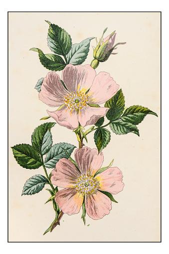 Antique color plant flower illustration: Rosa canina (dog rose)